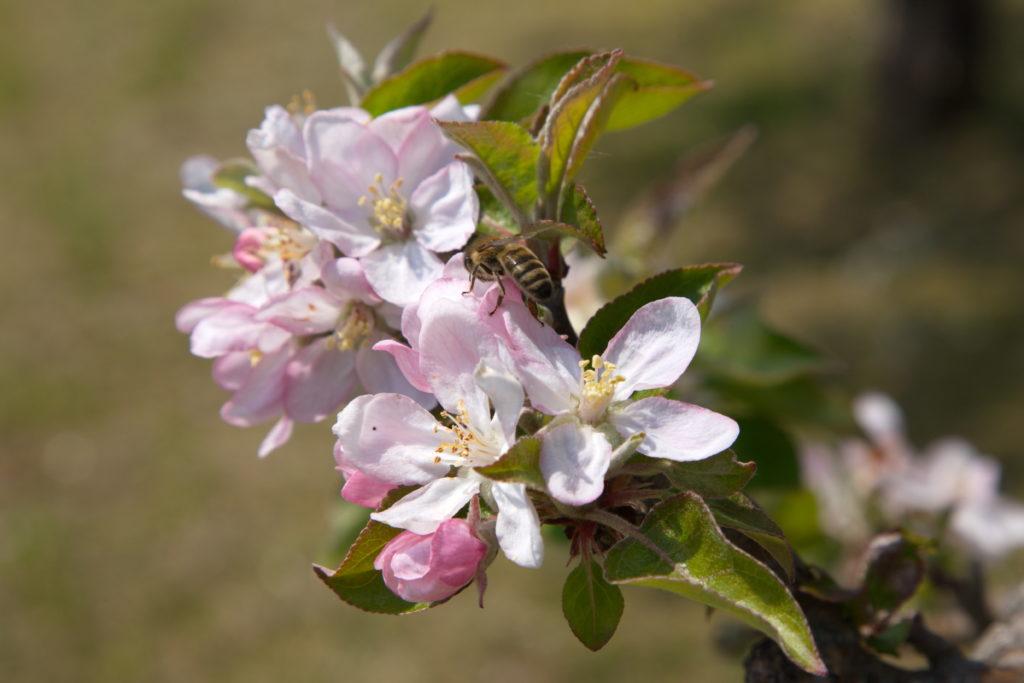 fleur_abeille_arbres_fruitiers